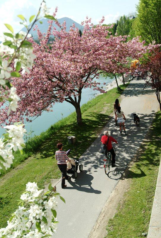 Drau Ufer der Stadt Villach mit Magnolienbäumen und Freizeitsportler